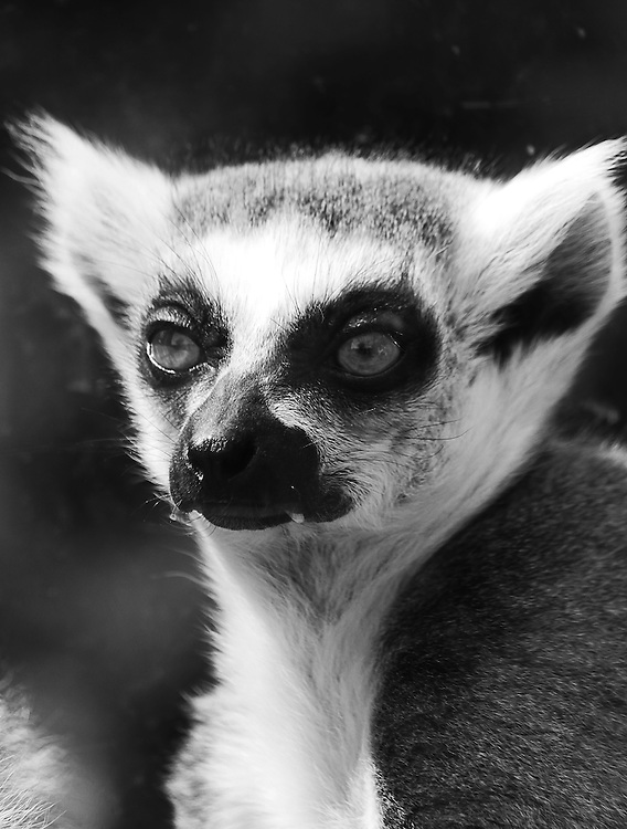 A black and white portrait of a (captive)ring tail lemur