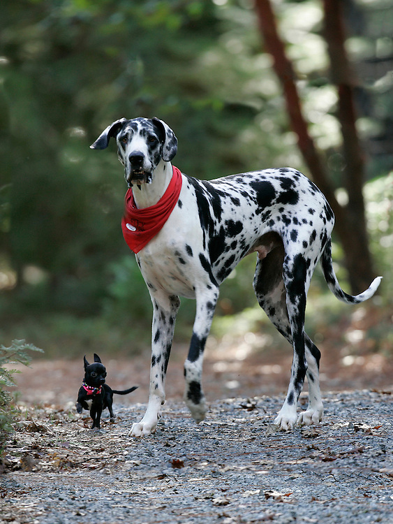 "According to Guinness World Records, Gibson, a Great Dane, is the world's tallest dog, from floor to shoulder 42.2"". He stands 7'2""  on his hind legs. Gibson plays with his friend, Zoie, a 7.5"" Chihuahua. Photo by Deanne Fitzmaurice"