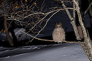 A Blakiston's fish owl in sitting on tree branch.