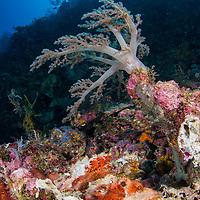 Tassled Scorpionfish, Scoraenopsis oxycephala, on reef, Maumere, Flores, Indonesia.