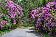 Gate & Rhododendron, Further Lane, East Hampton, NY