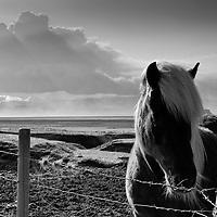 Iceland, Hvolsvelli, Icelandic horses in pasture near ash plume erupting from Eyjafjallajökull Volcano