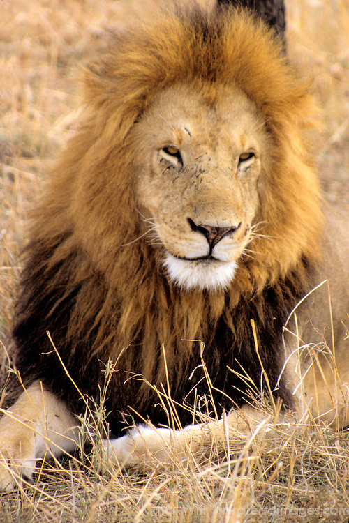 Africa, Kenya, Maasai Mara. Adult male lion of the Mara.