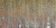 Winter Trees, near Sun Valley Idaho<br /> Also available as a triptych, up to 60 x 120&quot;