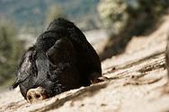 01/07/16 - EVISA - HAUTE CORSE - FRANCE - Cochons sauvages dans la foret d Aitone - Photo Jerome CHABANNE