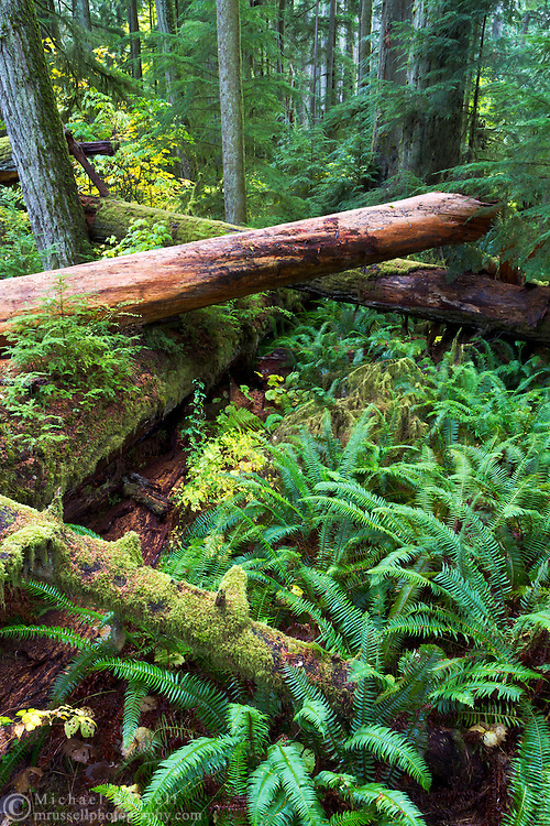 Fallen trees in the Cathedral Grove forest in Macmillan Provincial Park near Port Alberni, British Columbia, Canada