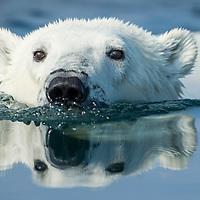 Canada, Nunavut Territory, Repulse Bay, Polar Bear (Ursus maritimus) swimming in Hudson Bay near Arctic Circle