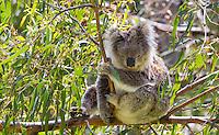 Koala (Phascolarctos cinereus) resting in a eucalyptus tree in the wild, Victoria, Australia