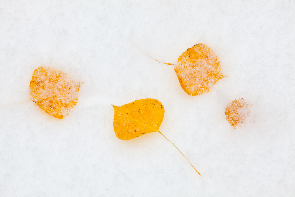 Aspen leaves have fallen onto a blanket of fresh snow.