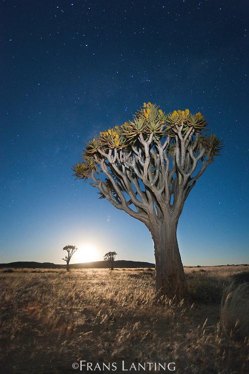 Quiver tree, Aloe dichotoma, with starry night sky and rising moon, Namib-Naukluft National Park, Namibia