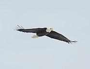 Bald Eagles Onondaga Lake 1/26/2013