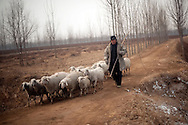 A herder drives his sheep through a cotton field in the town of Huji in the province of Shandong, China, Friday, Jan. 28, 2011. Despite record cotton prices last year, some farmers are storing their harvest of cotton and are holding out for even higher prices, hoping to help overcome higher costs of fertilizer and labor, which have both risen 20% in the past year..CREDIT:Keith Bedford for The Wall Street Journal.Slug: COTTON