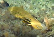 Barred Tiger Salamander<br /> <br /> Patrick Clayton/Engbretson Underwater Photography
