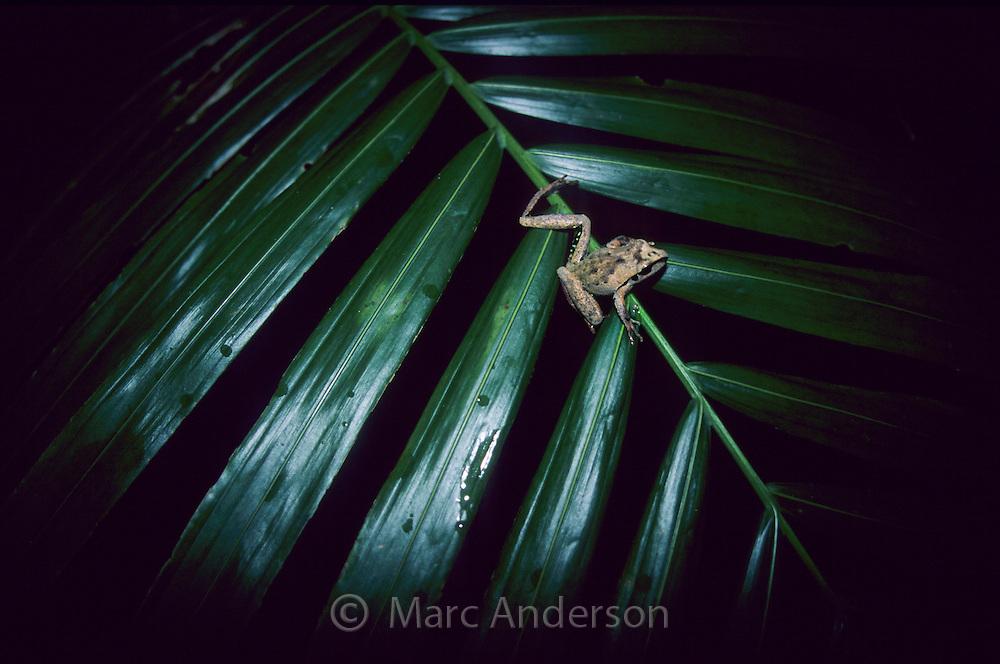 Stoney Creek Frog, Litoria wilcoxi, sitting on a palm leaf in rainforest, Australia..