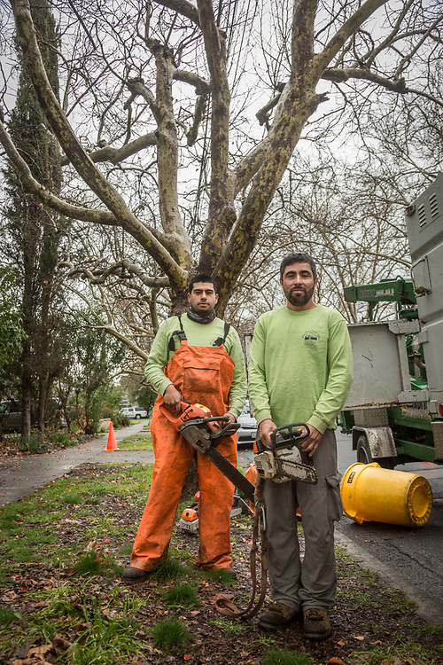 Joes Rincon (right) and Miquel Vazquez of Pacific Tree Service prepare to begin work on trees near the corner of Cedar and South Oak Streets in Calistoga.