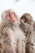 Snow monkeys, infant grooming mother