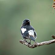 Pied bush chat (Male) Horton Plains National Park.