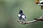 Pied bush chat (Male) Horton Plains National Park.