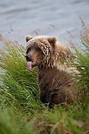 Brown bear (Ursus arctos) with tongue sticking out at waters edge, Katmai National Park, Alaska.