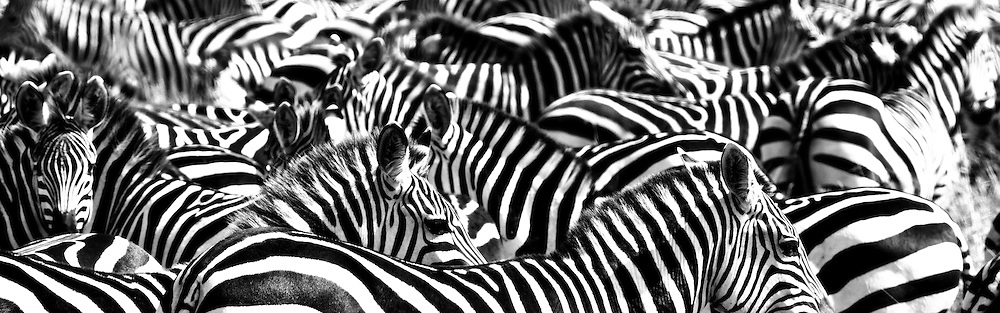 Zebras, Maasai Mara