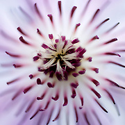 Clematis Lincoln star flower detail
