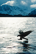 Alaska. Adak Island. Bald Eagle (Haliaeetus leucocephalus) fishing seeking prey. Eagles feed on fish, rodents and other birds. Wing span can reach 6.6 feet. Males can grow up to 9lbs in weight, 50,000 bald eagles live in Alaska.