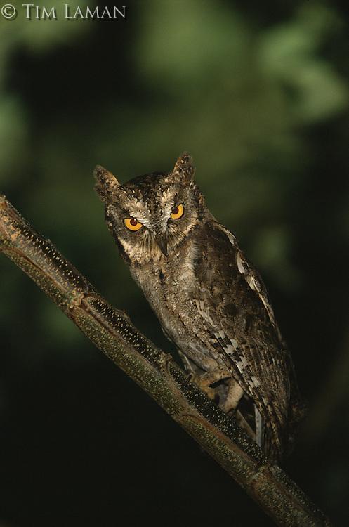 Mantanani scops-owl (Otus mantananensis) on Dimakya Island.