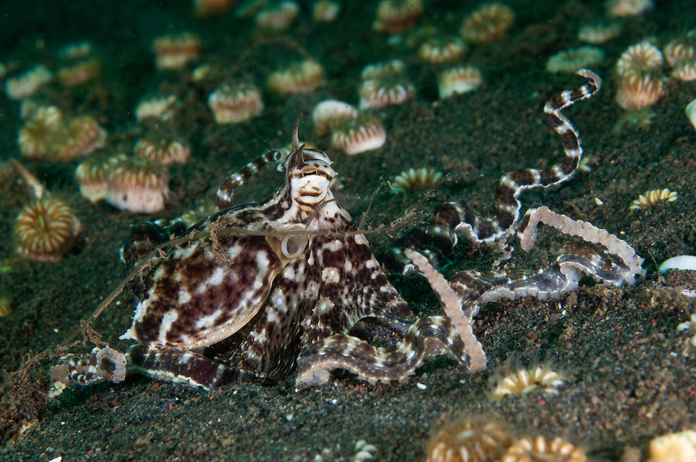 Mimic Octopus Camouflage Mimic Octopus Are Thought to