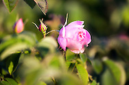 Blossom Damask roses in Rose Valley Bulgaria