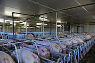25/06/14 - BADAILHAC - CANTAL - FRANCE - Elevage de porcs de croisement large white et duroc. Insemination des truies en salle de gestation - Photo Jerome CHABANNE