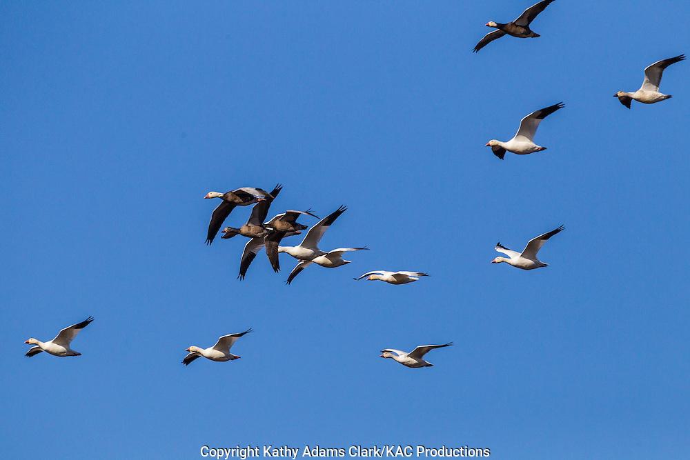 Snow geese, snow goose, Chen caerulescens, flocks, migratory flock, Anahuac National Wildlife Refuge, Texas, upper Texas coast, autumn