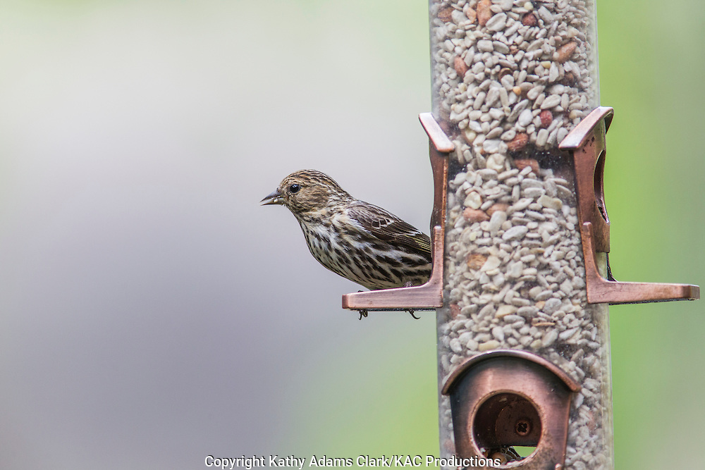 Pine Siskin at feeder, The Woodlands, Texas, spring.