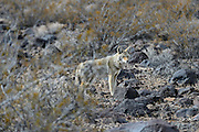 Wildlife photographs Death Valley NP, CA, USA