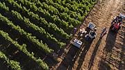 Open Claim Vineyards pinot noir harvest 2016, Eola-Amity Hills AVA, Willamette Valley, Oregon