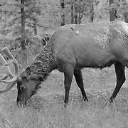 Grazing Bull Elk Forest Edge - Yellowstone National Park - Infrared Black & White