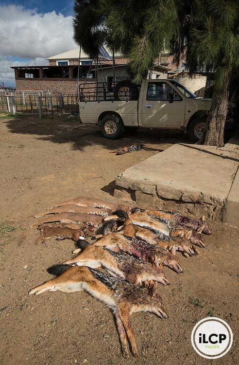Result of one night hunting. A total of a dozen predators is reported every night for eight days.<br /> Rietbron, Eastern Cape, South Africa / R&eacute;sultat d'une chasse d'une nuit . Au total, une dizaine de pr&eacute;dateurs est rapport&eacute;e chaque nuit pendant 8 jours.<br /> Rietbron, Eastern Cape, Afrique du Sud