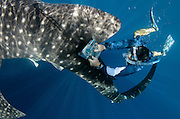 Whale Shark (Rhincodon typus) &amp; scientist<br /> Cenderawasih Bay<br /> West Papua<br /> Indonesia<br /> Whale shark scientist using PIT tag receptor to check if shark is tagged