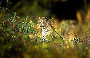 Leopards in Yala National Park. Sri Lanka.