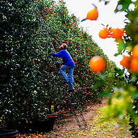 BRADENTON, FL -- January 13, 2009 -- Orange picker Jose Guadalupe climbs a ladder to reach more oranges used for juicing of Tropicana orange juice at the SMR Farms orange grove, one of over 100 growers Tropicana gets its oranges for juicing from, in Bradenton, Fla., on Tuesday, January 13, 2009.   Pepsico has paired up with Carbon Trust to measure their carbon footprint in the making of Tropicana Pure Premium Orange Juice, a task they are going to apply to their other brands.  (Chip Litherland for The New York Times)