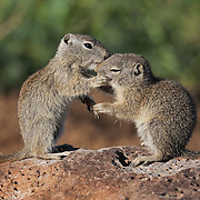 Two Belding's ground squirrels (Urocitellus beldingi) appear to kiss in the Malheur National Wildlife Refuge near Frenchglen, Oregon. The ground squirrels are actually smelling each other's oral gland secretions to determine whether or not they're related. Belding's ground squirrels produce at least two odors from glands on their mouths and backs. They can determine whether they're related, and how closely they're related, by those odors.
