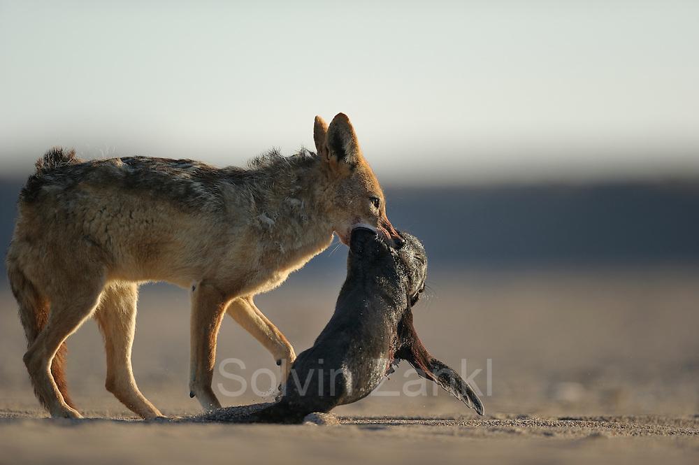 Black backed jackal (Canis mesomelas) attacks Cape Fur Seal pup (Arctocephalus pusillus), Tsau-ǁKhaeb-(Sperrgebiet)-Nationalpark, Namibia   Schabrackenschakal (Canis mesomelas) erbeutet Kap-Pelzrobbe (Arctocephalus pusillus pusillus), auch Südafrikanischer Seebär genannt. Sperrgebiet National Park, Namibia