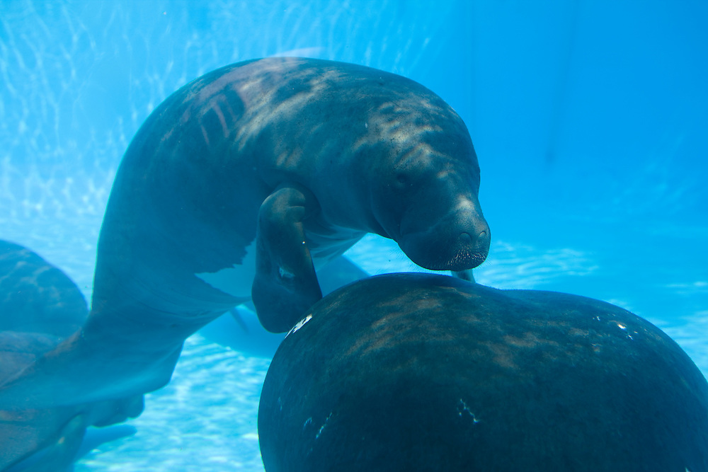 Amazonian Manatees (Trichechus inunguis) being rehabilitated at the National Institute of Amazon Research (INPA) facility in Manaus..Daniel Beltra/Greenpeace