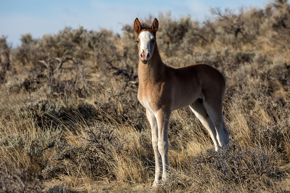 Less than a month old, the new colt, Muskogee, born to the mare, Miley, and her stallion, Snoodle, appears ready to take on the world...or at least the rest of the wild horses at McCullough Peaks.