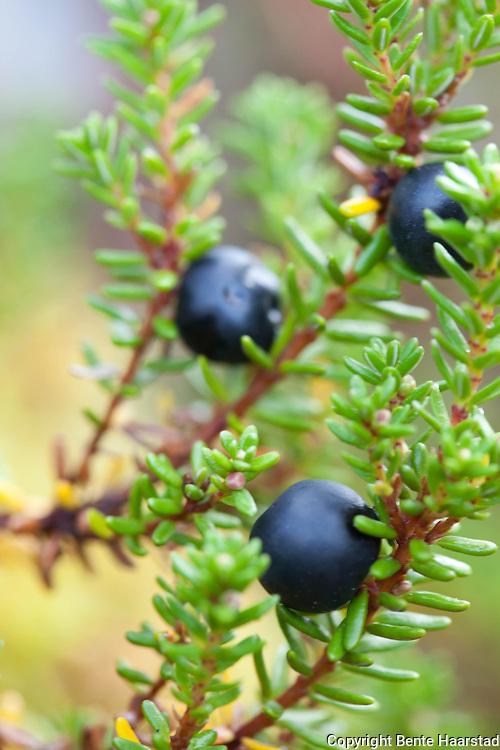 Krekling, Empetrum nigrum, black crowberry.
