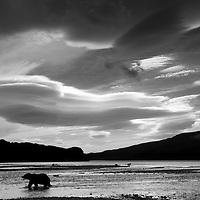 USA, Alaska, Katmai National Park, Grizzly Bear (Ursus arctos) walking beneath storm clouds along mountainous coastline of Geographic Harbor