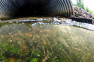 Alewife beneath culvert(with Blueback Herring)<br /> <br /> Sean Landsman/Engbretson Underwater Photography