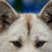 Greenland, Sisimiut, Close-up portrait of husky sled dog sitting outside visitor center on summer evening