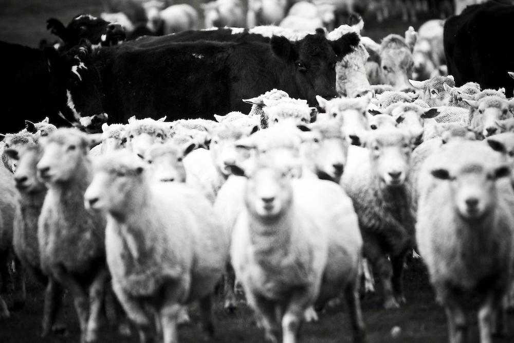 Sheep and beef, Gisborne, New Zealand, Monday, June 11, 2011.  Credit: SNPA / Bethelle McFedries