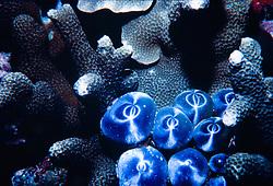 Algas sobre coral morto na Indonesia, ocorrendo tambem na australia e no mar vermelho./ Seaweed over dead coral in Indonesia, occurring in Australia and Red sea.Foto:Christiana Carvalho/Argosfoto