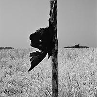 Scarecrow in a wheat field, Bornholm, Denmark 1986